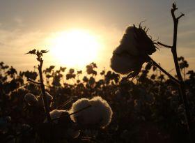 Reportagem do G1 destaca a qualidade do algodão do Sudoeste Paulista